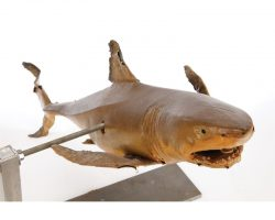 Articulated shark puppet from Jaws 2