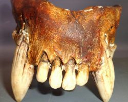 Warehouse 13 Screen Used Pachycrocuta Jawbone Artifact Prop Ep 415